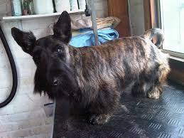 scottish yerrier haircuts dog e dog grooming