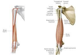 Supraglenoid Tubercle 7c016 F101f Bottom Jpg