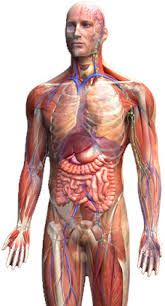 Anatomy And Physiology Class Distance Learning And Evening Courses Anatomy U0026 Physiology Home