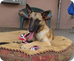 belgian sheepdog breeders in california lucy adopted puppy 16100 canoga park ca belgian malinois