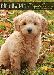 goldendoodle puppy treats best 25 goldendoodle ideas on a