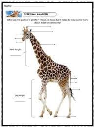 giraffe facts worksheets u0026 information for kids