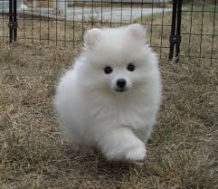 american eskimo dog nz american eski toy recherche google pets top american eskimo