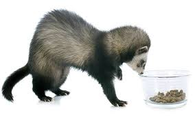 best ferret facts information guide all about ferret