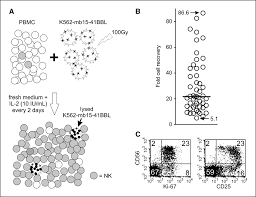 expansion of highly cytotoxic human natural killer cells for