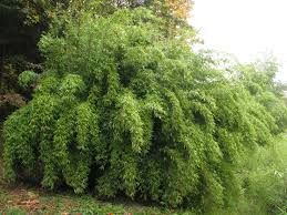 native screening plants fast growing non invasive cold hardy clumping bamboos the genus fargesia