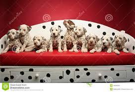 dalmatian stock photos images u0026 pictures 12 360 images