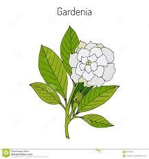 gardenia jasminoides gardenia stock vector image 88769423