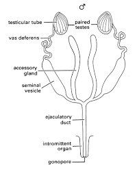 The Anatomy Of The Male Reproductive System Generalised Male Reproductive System