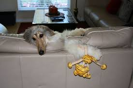 afghan hound therapy dog 17 best images about afghan hounds on pinterest