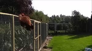 Flies In Backyard Hen Flies Away From Rooster In Slowmotion Youtube