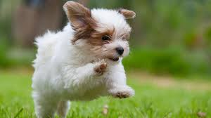 green puppy born to golden retriever people com