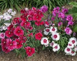 dianthus flower dcbd 1401 jpg