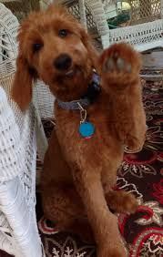 goldendoodle puppy treats hey can you help me find my treats let us laugh