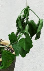 Tropical Plant Diseases - hidden valley hibiscus hibiscus doctor