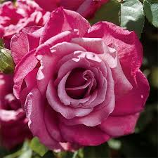 Fragrant Rose Plants - 38 best edible fragrant rose collection images on pinterest