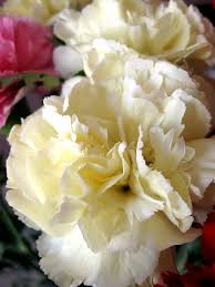 january flower of the month the carnation