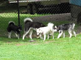 pomsky puppies for sale puppy adoption magnum pomskies