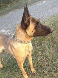 belgian malinois rescue florida belgian malinois puppy stare u2013 puremalinois