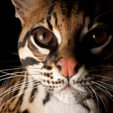 ocelot national geographic