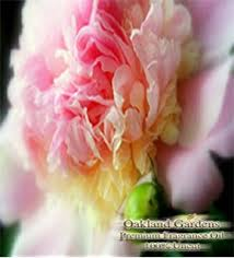 Bulk Peonies Amazon Com Peony Fragrance Oil Gentle Sweeps Of Peony Pure