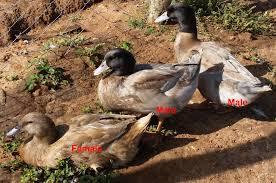duck breeds in kenya ziwani poultry