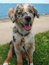 australian shepherd catahoula mix such an adorable australian shepherd daily dose of cuteness