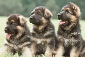 australian shepherd dog names 100 german dog names american kennel club
