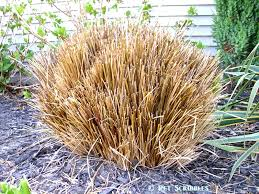 springtime gardening pruning ornamental grasses time