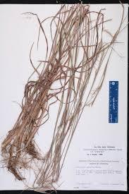 native plants of louisiana schizachyrium scoparium species page isb atlas of florida plants