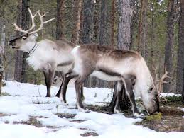 how the arctic reindeer is a multi purpose animal about wild
