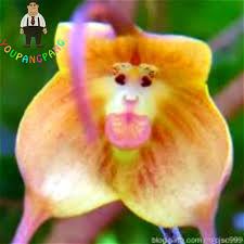 monkey orchids aliexpress buy 2017 new varieties of orchids monkey
