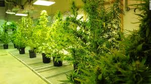 grow room lighting requirements exclusive tour of the only federal weed farm in america cnn