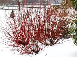 red dogwood is an excellent choice if you want to create some