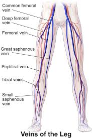 Diagram Of Knee Anatomy Popliteal Vein Wikipedia