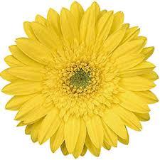 gerbera daisies gerbera daisies yellow 70 stems sam s club