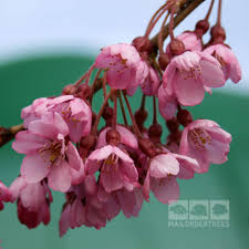 prunus pendula rubra weeping cherry tree mail order trees