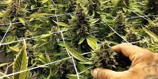 chambre de culture complete cannabis plante d interieur pour chambre de culture complete 600w luxe