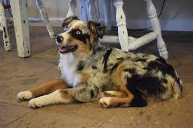 australian shepherd blue eyes view ad australian shepherd puppy for sale arizona paulden usa