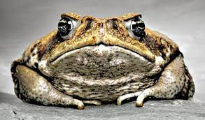 How To Get Rid Of Cane Toads In Backyard Cane Toads On The Rise In Ipswich Queensland Times