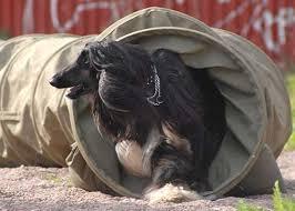 afghan hound racing uk agility activities the afghan hound association