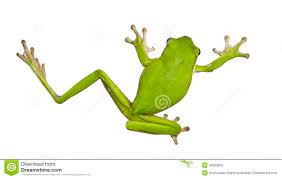 green australian tree frogs royalty free stock images image