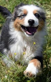 australian shepherd 5 monate the 449 best images about aussies on pinterest aussie puppies
