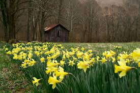 field yellow spring wild flowers flowers free nature pictures