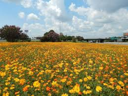 Flower Area - this is where to find the best nc highway wildflower beds