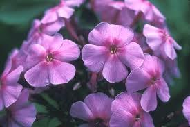 Phlox Flower Phlox Paniculata Garden Phlox Summer Phlox Go Botany