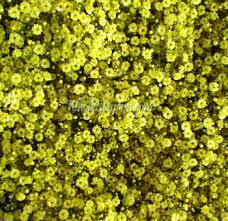 baby s breath flower yellow filler babys breath flower