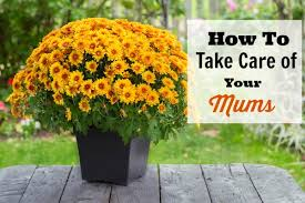 how to take care of your mums indoors and out