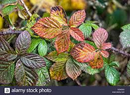 bramble or blackberry rubus fruticosus leaves in autumn showing