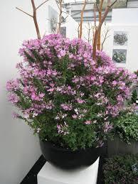 Cleome Flower - cleome x hybrida clio magenta lucas greenhouses